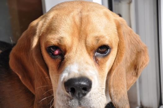 pugwash-beagle-cherry-eye